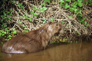 Capybara sightings continue in Barnet