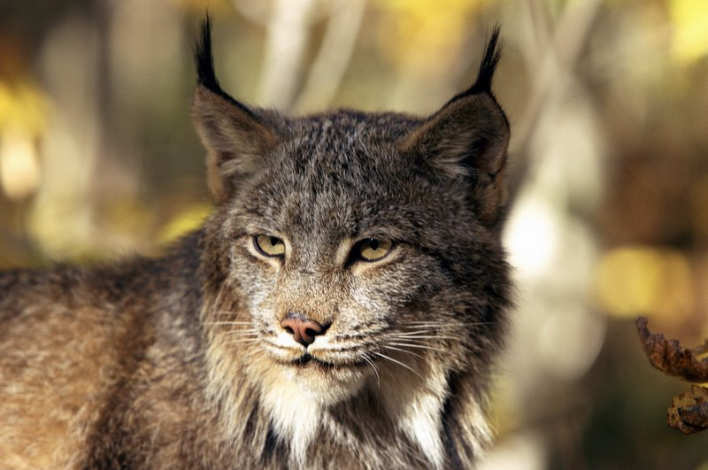 Lara the lynx (similar to the one pictured above) was captured after being spotted in a back garden in Cricklewood in 2001 - but what became of the animal nicknamed the 'Beast of Barnet' in pubs and school classrooms?