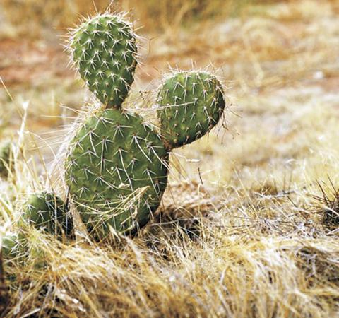 A cactus with Mickey Mouse ears