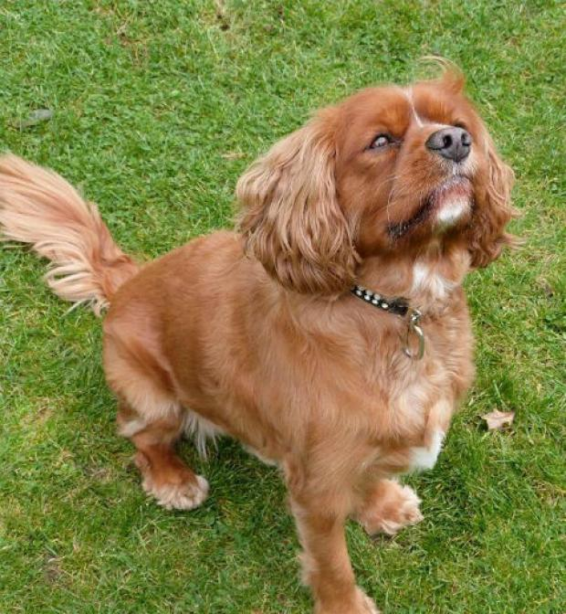 Ted, a Cavalier King Charles spaniel, was snatched from outside Tesco Express, in Friern Barnet Lane