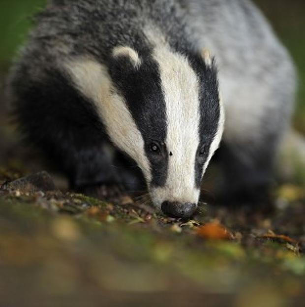 Times Series: Campaigners have questioned claims that badger-culling trials were a success