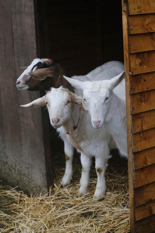 Times Series: Goats take shelter from the rain