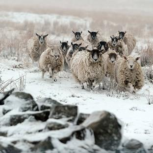Times Series: Sheep walk through snow at Nenthead on the Cumbria and Northumberland border