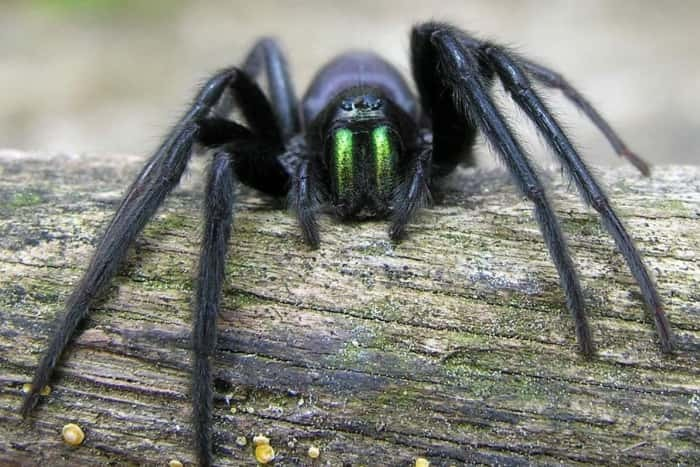 The green fanged spider