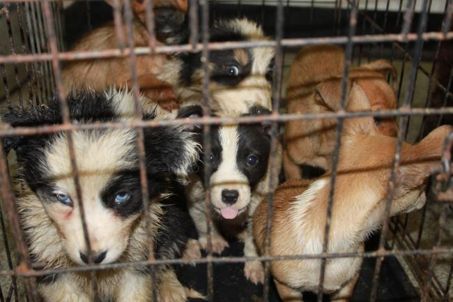 SSPCA photo of puppies in a cage - seized as part of Op Delphin